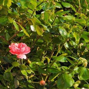 アンジェラ    初夏がいちばん好き       市川浦安アスファルト脇植物園・自宅