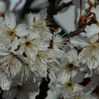 サクラ セイヨウミザクラ(西洋実桜)