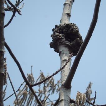 樹木③  (続々編)キタカミハクヨウ? 幹と花粉