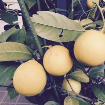 家のレモンでレモンソルト♪