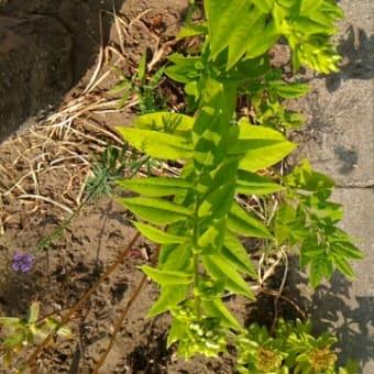 花壇宿根の生育状況の比較結果(街路樹有り、無し)
