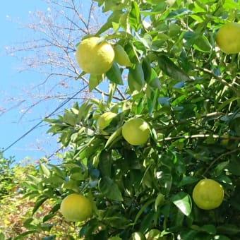 柑橘類も色付く