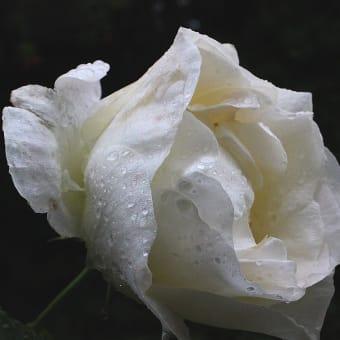 バラ、ヒルザキツキミソウ ‐ 雨の日