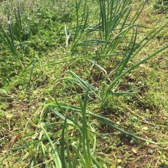 草取りは中々大変な作業ですが、無農薬では当たり前!