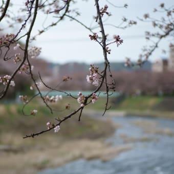 ●浅野川河川敷のソメイヨシノ 寒緋桜  枝垂れ桜 ヒュウガミズキ ヒメリュウキンカ