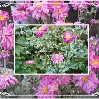 貴船菊 原種八重 濃いローズ色の シュウメイギク