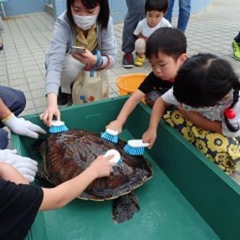 アオウミガメ「ひかり」の健康診断