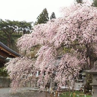 【楽翁桜開花状況 4月21日 満開】