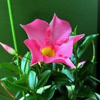 自宅で花(6月)マンデビラ、カリブラコア、セロシア、エキザカム、他
