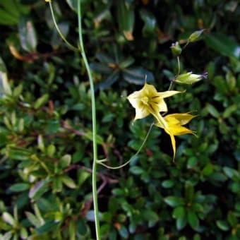 メラスフェルラ・ラモーサ / マムシグサ(蝮草) / カラー の花散歩