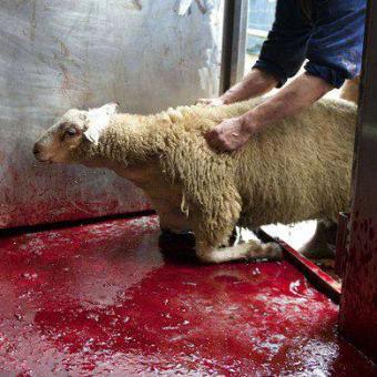 部屋に入れられるのを必死で抵抗する羊