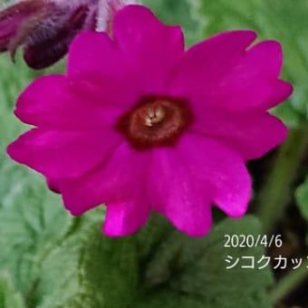 シコクカッコウソウと日本桜草早い子が咲きましたその①