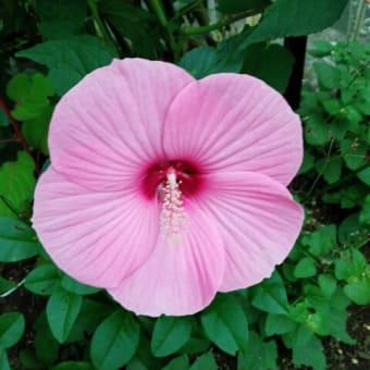 アメリカフヨウの花が咲いた。ハイビスカスの一種なんだと。