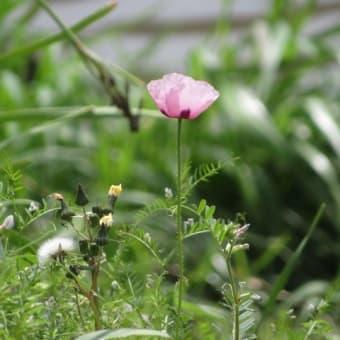 咲いてはいけない花が、今年も咲き始めてしまった。 ~アツミゲシ~