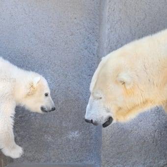 ホッキョクグマの赤ちゃん 円山動物園 後編