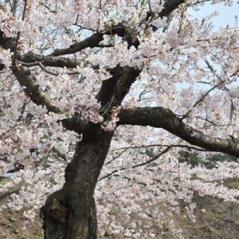 桜特集 道南