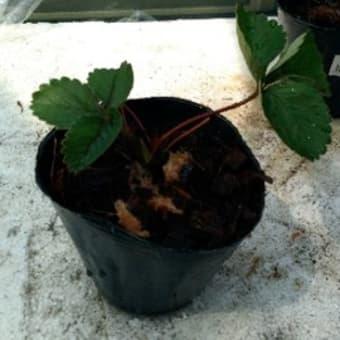 イチゴ栽培の再開