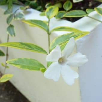 ヒメツルニチニチソウ・白花斑入り葉