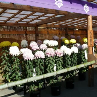 平泉・中尊寺の菊まつり始まる 2021年10月21日(木)