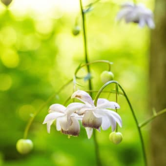 森の妖精 蓮華升麻