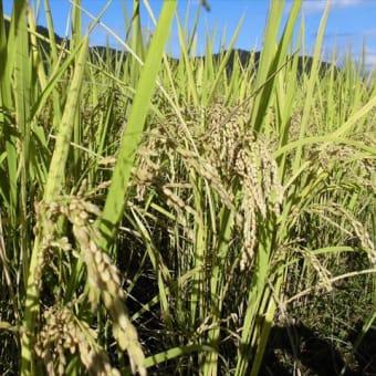 今年の稲刈りが始まった