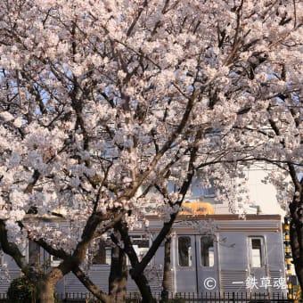 長野電鉄8500系と桜