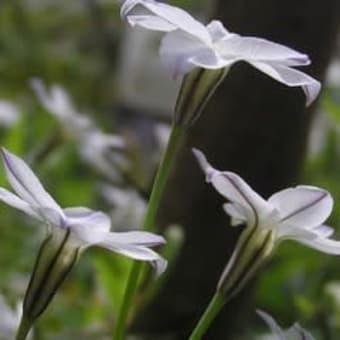 シャガとハナニラの白い花