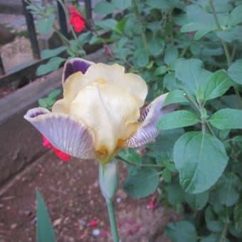 「アイリス」と「アジサイ」の花