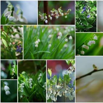 ●我が家の5月の花(9) スズランに似た花 ブルベリー ドウダンツツジ スノーフレーク アマドコロ スノードロップ 母の日