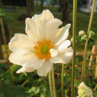 8/9 エリア3 シュウメイギクが咲きました