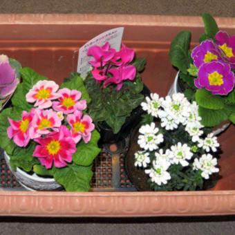 11/26 冬から春の寄せ植え鉢-F、N を作りました