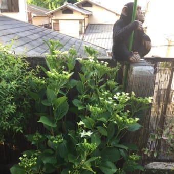 紫陽花 スミダハナビ