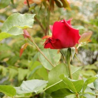 バラの開花 ⑥(品種不明の赤いバラ・ハニーディジョン・バレリーナ)