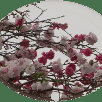 4 / 5 めぐり~( ハナモモ~ハナカイドウ )