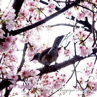 桜とヒヨドリ*ふきのとう摘み