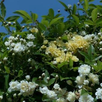 モッコウバラ(木香薔薇)白色・黄色八重