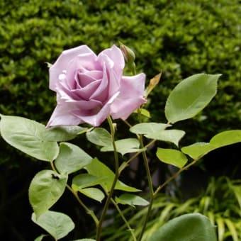 バラの開花 ④(ブルームーン アンクルウォルター)