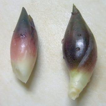 9/13、9/17 秋ミョウガの収穫:2021