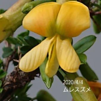 群スズメ・花が咲いてました雪ヤナギ斑入り・ハナニラ・生きてた!!水仙