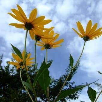今日の立山と庭花から【ハギ4種とキクイモ】