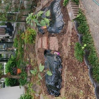 家庭菜園(なすび)