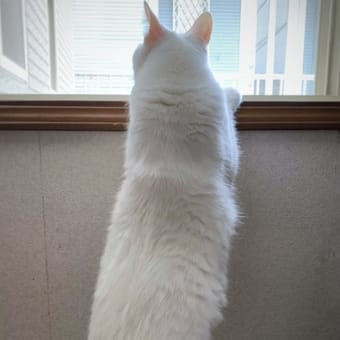 ニャがい #白猫 #猫 #cat ツイートアナリティクス(ツイートアクティビティ)♪ニャう。