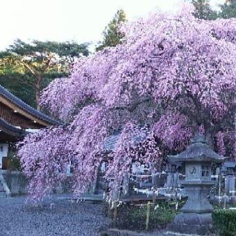 【楽翁桜開花状況 4月16日 満開】