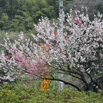 桜の後には…