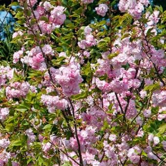 ボタンザクラの普賢象桜