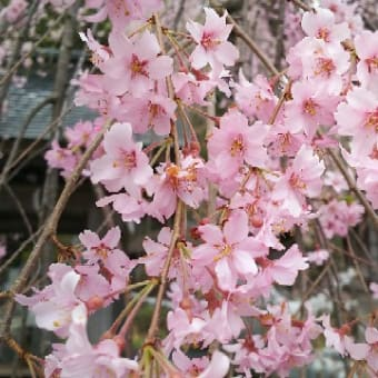 【楽翁桜開花状況 4月19日 満開】