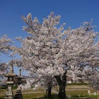 桜が満開です・・