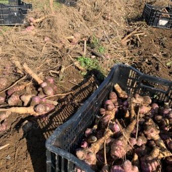 トピナンプール(イタリア紅菊芋)の収穫が始まりました