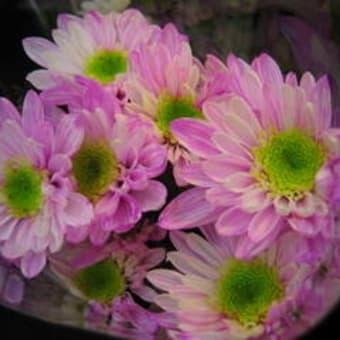 マラーブルカラー菊