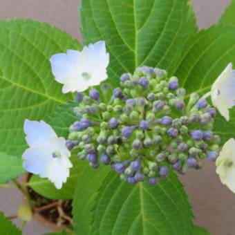 アジサイCの花の色は:まとめ